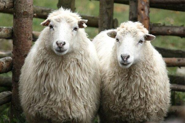 آنالیز تغییرات ژنومیکی و ساختار جمعیتی گوسفندان ایران